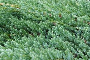 ビャクシン属(G. Juniperus)