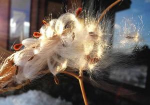 ガガイモの冠毛