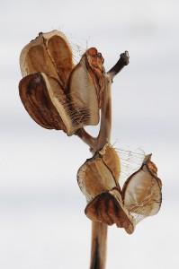 オオウバユリの蒴果