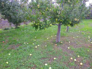 落ちリンゴ
