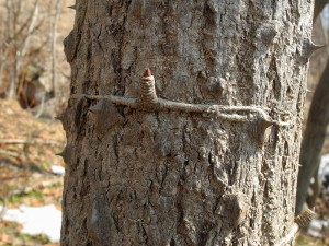 ハリギリの短枝