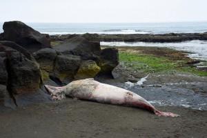 流れクジラ