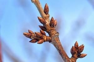 サクランボウの短枝