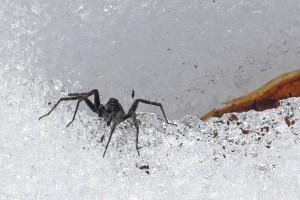 氷の上のクモ