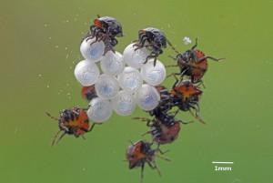カメムシの卵と幼虫
