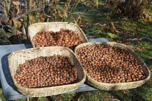 ヘーゼルナッツ収穫